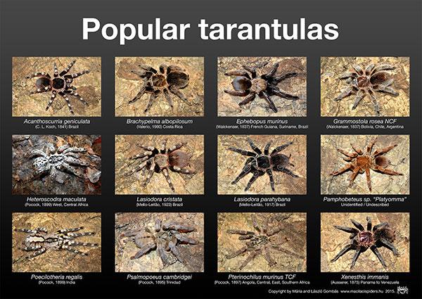 Madárpókos poszter - Népszerű madárpókok